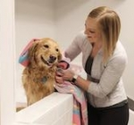 A golden retriever gets dried off after a bath.